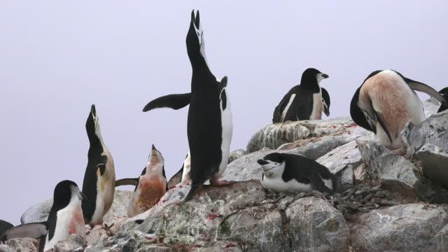 chinstrap penguins displaying in rookery, hydrurga rocks, antarctic peninsula, southern ocean - animal call stock videos & royalty-free footage
