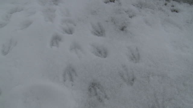 chinstrap penguins (pygoscelis antarcticus) footprints in snow. laurie island.  south orkney islands - footprint stock videos & royalty-free footage