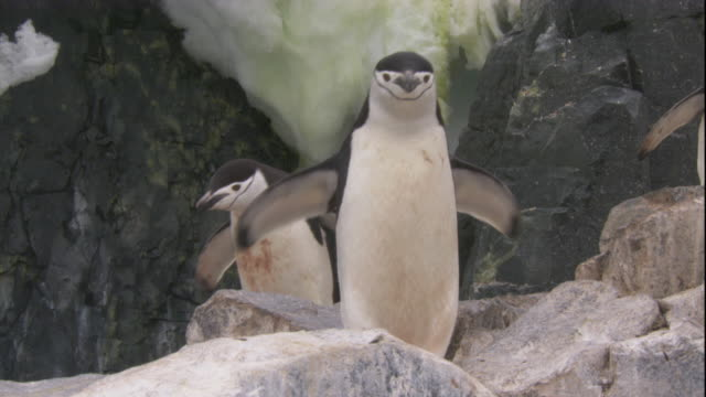 vídeos de stock e filmes b-roll de chinstrap penguins hop along rocks in antarctica. - colony