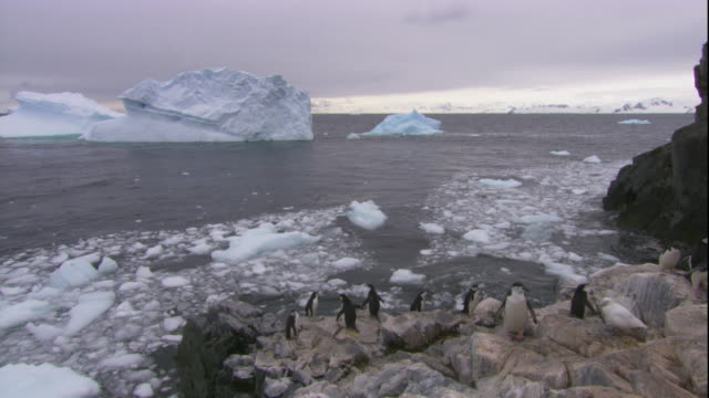 chinstrap penguins hop around a rocky beach where ice floats on the waves. available in hd. - ice floe stock videos & royalty-free footage