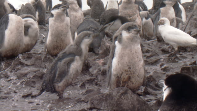 vidéos et rushes de chinstrap penguins (pygoscelis antarctica) in colony, adult feeds moulting chick - manchot