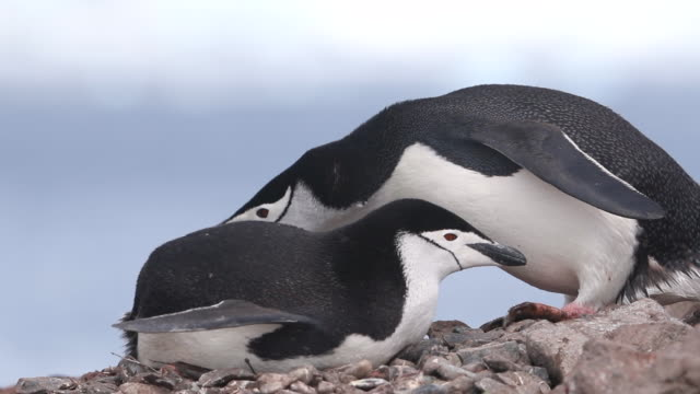 Chinstrap Penguins mating
