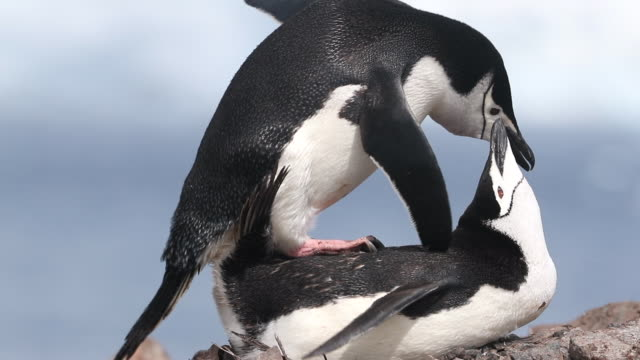 chinstrap penguins mating - animal behaviour stock videos & royalty-free footage