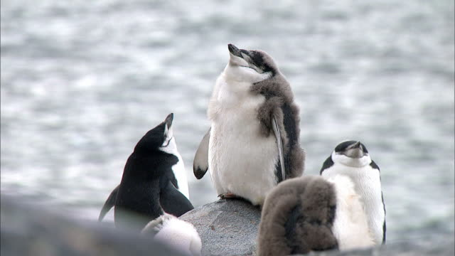 Chinstrap Penguins molting
