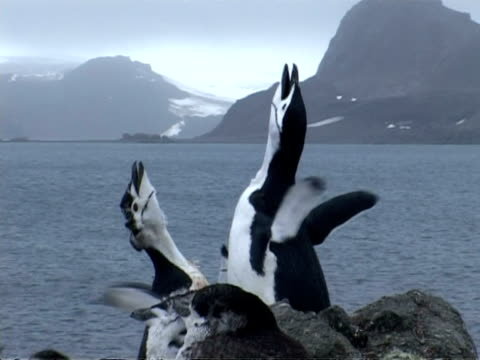 Chinstrap Penguins - moulting, 2 call repeatedly, Antarctica
