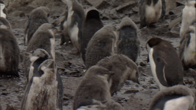 vidéos et rushes de chinstrap penguins, moulting chicks in colony (pygoscelis antarctica), adult feeds chick - manchot