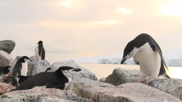 Chinstrap penguins (Pygoscelis antarcticus) on nests, one moves off.  Hydrurga rocks. Antarctic peninsula