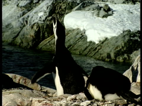 cu chinstrap penguins, pygoscelis antarcticus, flapping and calling out on rocky land, edited sequence, antarctica - animal call stock videos & royalty-free footage