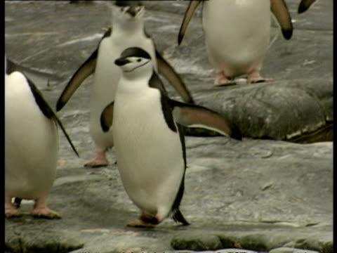 ms chinstrap penguins, pygoscelis antarcticus, waddling on rocks, antarctica - waddling stock videos & royalty-free footage