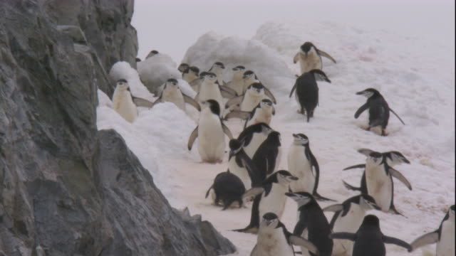 chinstrap penguins scramble down an icy slope. available in hd. - tierkolonie stock-videos und b-roll-filmmaterial