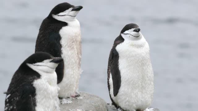 chinstrap penguins - antarctic peninsula stock videos & royalty-free footage