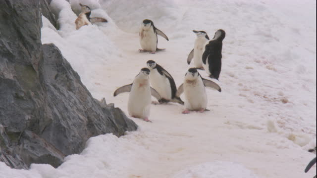 chinstrap penguins waddle down snowy slope. available in hd. - slippery stock videos & royalty-free footage