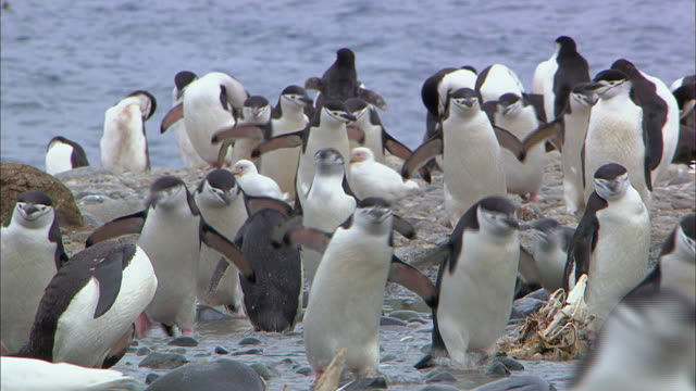 chinstrap penguins waddling - waddling stock videos & royalty-free footage
