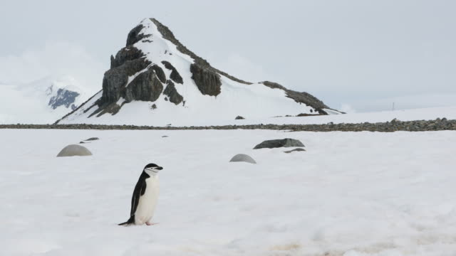 chinstrap penguins walking on snow in antarctica - penguin stock videos & royalty-free footage