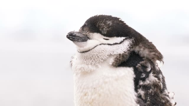 Chinstrap young penguin