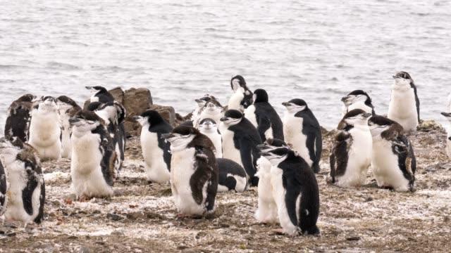 vídeos y material grabado en eventos de stock de chinstrap young penguins - boca de animal