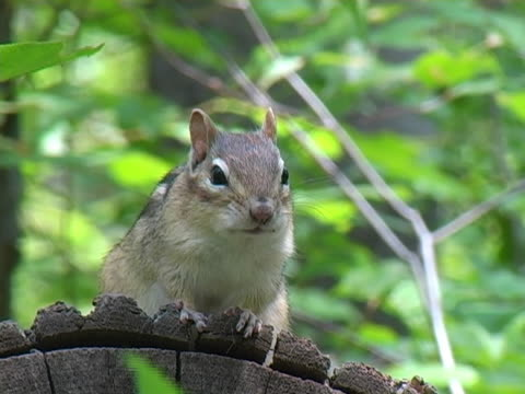 chipmunk 1 - chipmunk stock videos & royalty-free footage