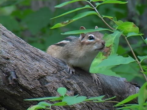 chipmunk 2 - chipmunk stock videos & royalty-free footage