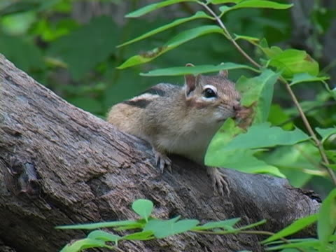 chipmunk 3 - chipmunk stock videos & royalty-free footage