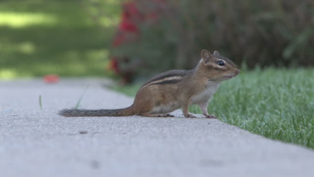 chipmunk 9-3: hd 1080/30f - chipmunk stock videos & royalty-free footage