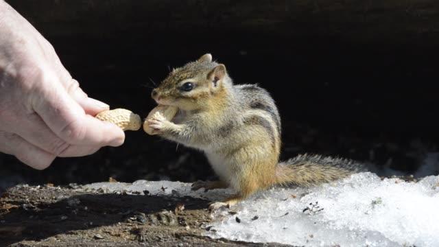 vídeos y material grabado en eventos de stock de chipmunk being hand-fed peanuts on snow - ardilla listada