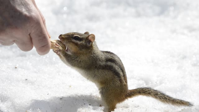 Chipmunk being hand-fed peanuts on snow