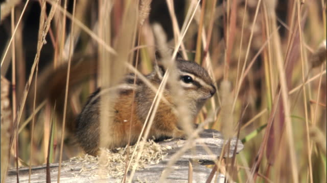 chipmunk (tamius minimus) calls on log, yellowstone, usa - streifenhörnchen stock-videos und b-roll-filmmaterial