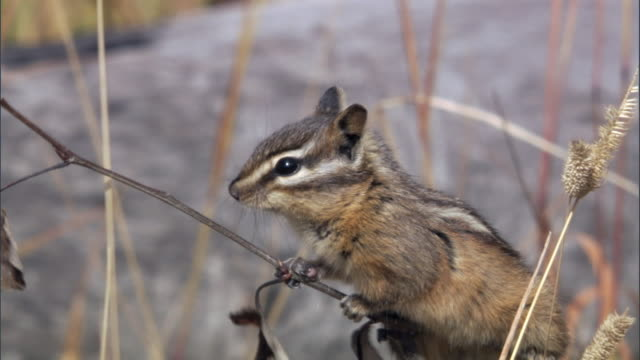 chipmunk (tamius minimus) clambers up and chews at twig, yellowstone, usa - chipmunk stock videos & royalty-free footage
