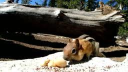 Chipmunk eating a nut