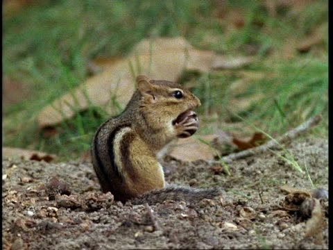 ms chipmunk eating nut - streifenhörnchen stock-videos und b-roll-filmmaterial