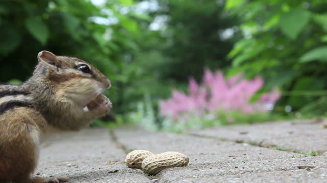 stockvideo's en b-roll-footage met chipmunk eating peanuts - pinda voedsel