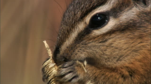 chipmunk (tamius minimus) feeds on grass seed head, yellowstone, usa - chipmunk stock videos & royalty-free footage
