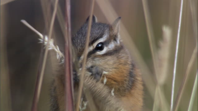 chipmunk (tamius minimus) feeds on grass seed head, yellowstone, usa - tamia striato video stock e b–roll