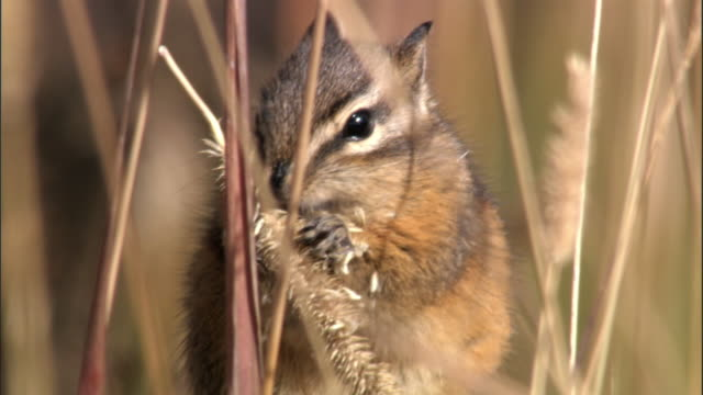 chipmunk (tamius minimus) feeds on grass seed head, yellowstone, usa - streifenhörnchen stock-videos und b-roll-filmmaterial