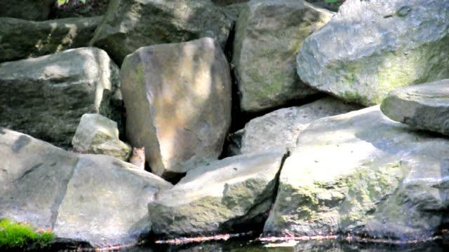 Chipmunk  hiding among Rocks