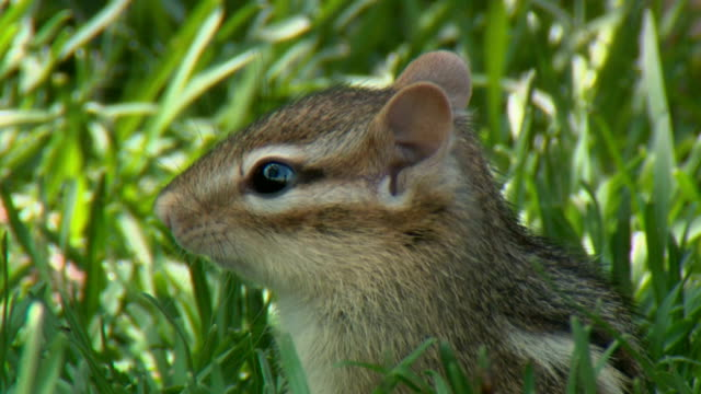 cu chipmunk in grass, tweed, ontario, canada - streifenhörnchen stock-videos und b-roll-filmmaterial