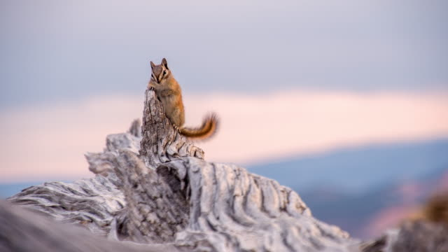 ls chipmunk on a tree - chipmunk stock videos & royalty-free footage