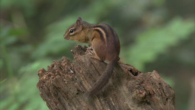 a chipmunk perches on a stump and looks around. - chipmunk stock videos & royalty-free footage