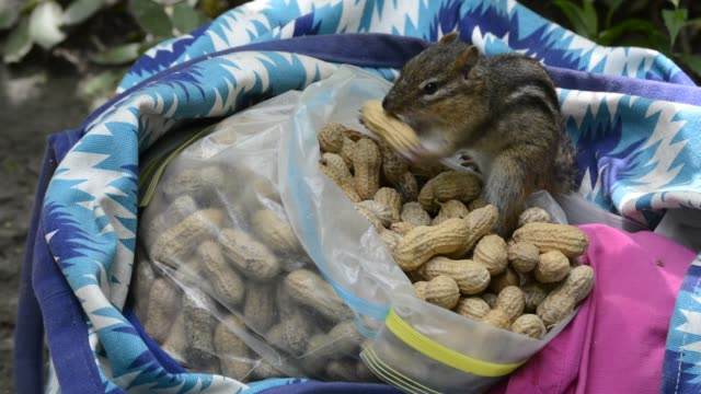 chipmunk taking peanuts from supply bag - tamia striato video stock e b–roll