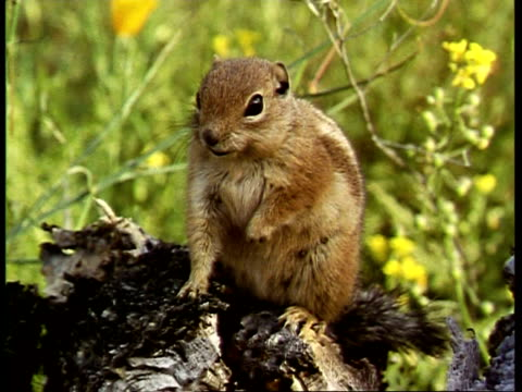 cu chipmunk, tamias striatus, on tree, usa - streifenhörnchen stock-videos und b-roll-filmmaterial