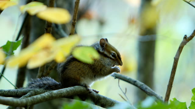 chipmunk - chipmunk stock videos & royalty-free footage
