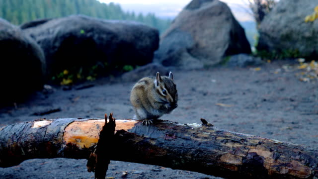 chipmunk - pigna strobilo video stock e b–roll