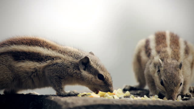 chipmunks eating food. - chipmunk stock videos & royalty-free footage