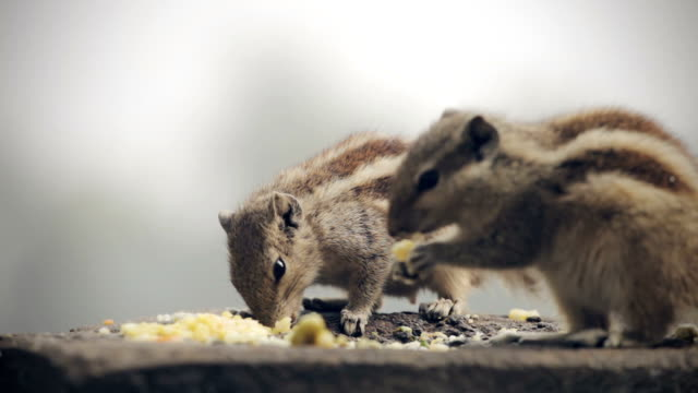 chipmunks eating food. - tamia striato video stock e b–roll