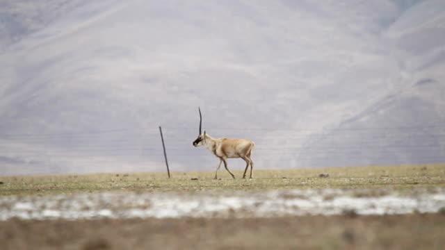 chiru (tibetan antelope) - antilope stock-videos und b-roll-filmmaterial