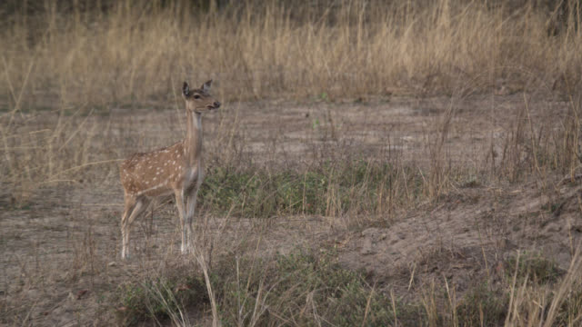 chital deer (axis axis) alarm calls on grassland, bandhavgarh, india - alertness stock videos & royalty-free footage