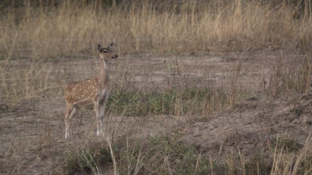 vídeos de stock, filmes e b-roll de chital deer (axis axis) alarm calls on grassland, bandhavgarh, india - prontidão