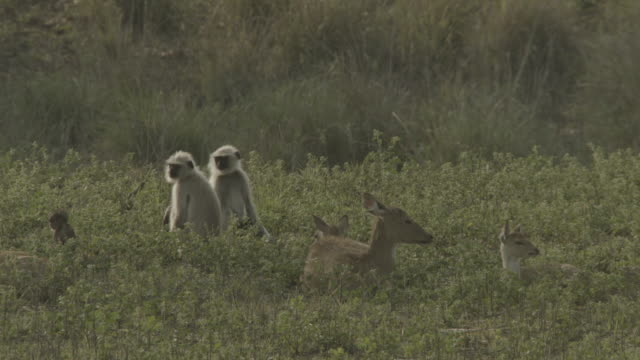 chital deer and hanuman langurs rest amongst foliage, india. - deer family stock videos and b-roll footage