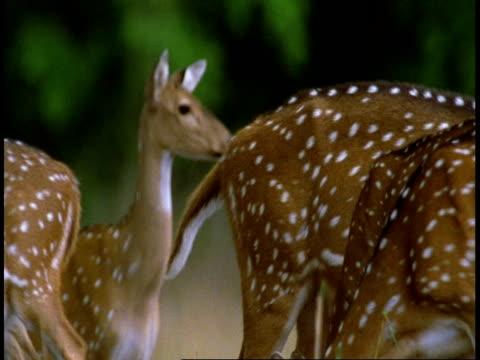 vídeos y material grabado en eventos de stock de cu chital deer, axis axis,  grazing then startled, looking to camera, bandhavgarh national park, india - grupo mediano de animales