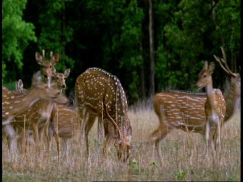 ms chital deer, axis axis,  grazing then startled, running out of frame, bandhavgarh national park, india - grazing stock videos & royalty-free footage